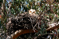 Great Horned Owl chick in nest at Miramar Lake-62 3-31-09
