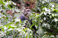 Blue Monkey in trees at Arusha NP in Tanzania-10 1-11-12