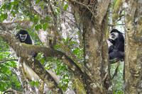 Colobus Monkey in trees at Arusha NP in Tanzania-17-2 1-11-12