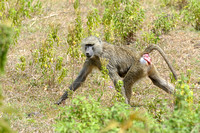 Baboon at Arusha National Park in Tanzania-04 1-11-12