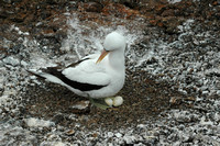 Nazca Booby nesting on two eggs on Genovesa island-Galapagos-1-2 8-2-04