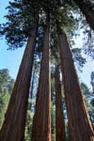 Giant Sequoia at Grants Grove at Kings Canyon NP-09 9-18-09.jpg