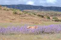 Maggie in Blue Thistle Sage at Carrizo Plain Nat Mon 5-11-10_0001