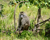 Baboon at Arusha National Park in Tanzania-02 1-11-12