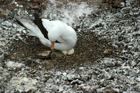 Nazca Booby nesting on two eggs on Genovesa island-Galapagos-2-2 8-2-04