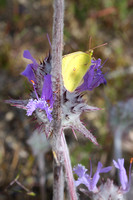 Yellow butterfly on Blue Thistle Sage at Carrizo Plain Nat Mon-03 5-11-10