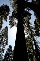 Giant Sequoia at Grants Grove at Kings Canyon NP-04 9-18-09.jpg