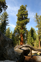 Giant Sequoia at Giant Forest area of Sequoia NP-07 9-19-09.jpg