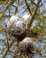 Cattle Egrets with chicks in tree at Wild Animal Park in Escondido-08 5-5-09.NEF