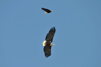 Fish Eagle in flight at Khwai area of Botswana-16 9-14-10