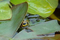 Frog under lotus leaves at Quail Gardens in Encinitas35 5-1-07