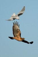 White-tailed Kite & Red-tailed Hawk fighting over Batiquitos Lagoon in Encinitas 2-2-07