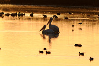 White Pelicans at Wildlife Refuge-02-2 11-16-09
