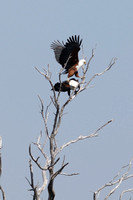 Fish Eagles in tree in Khwai area of Botswana-33 9-14-10