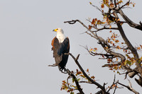 Fish Eagle in tree along Chobe River in Botswana-02 9-16-10