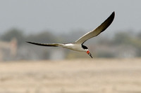 Black Skimmer with fish at Bolsa Chica in Huntington Beach-04 6-23-07