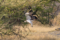 Mashall Eagle taking off  near camp at Xakanxa area of Moremi game reserve in Botswana-06 9-12-10
