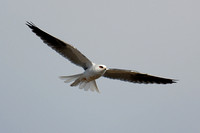 White-tailed Kite in flight over Batiquitos Lagoon in Encinitas-12 1-27-07