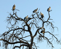 White-backed Vulture in tree in Khwai area of Botswana-24 9-14-10
