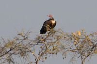 White-backed vulture in tree Leopard at dawn near Camp at Xini Lagoon in Moremi game reserve-06 9-8-10