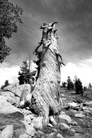 Large snag along trail to Frog Lake overlook-01bw 9-11-11