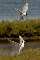 2 Elegant Terns fighting at Bolsa Chica reserve in Huntington Beach-06 5-30-07
