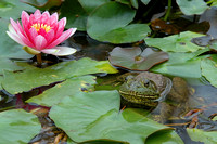 Lotus flower and frog in pond at Quail Gardens in Encinitas-01 5-1-07