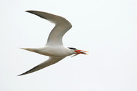 Elegant Tern with fish in flight at Bolsa Chica in Huntington Beach-07 6-23-07