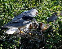 White-tailed Kite parent in nest with chicks at Rancho Carrillo in Carlsbad-07 5-25-08