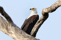 Fish Eagle in tree near camp at Xakanxa area of Moremi game reserve in Botswana-03 9-10-10
