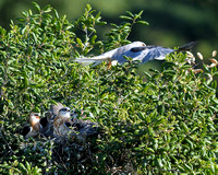 White-tailed Kite parent leaving nest with chicks at Rancho Carrillo in Carlsbad-07 5-25-08