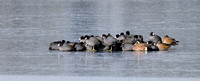 American Coots on frozen Lake Dulzura at Serene Lakes-17 11-21-11_1