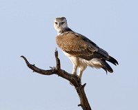 Mashall Eagle in tree near camp at Xakanxa area of Moremi game reserve in Botswana-21 9-12-10